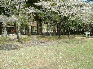 sakura04113-s.JPG
