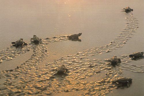 アカウミガメ産卵地